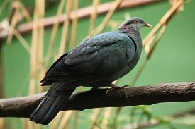 picture of pigeon  - Metallic pigeon  - JPG