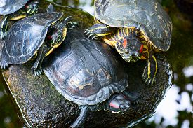 picture of cooter  - Three turtles on the stone in the pond - JPG