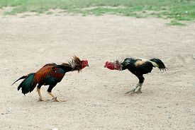 pic of game-cock  - Outdoor game of Cockfight In Thailand - JPG