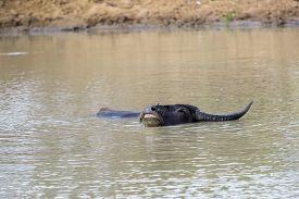 foto of wallow  - Wallowing water buffalo in a waterhole in Sri Lanka - JPG