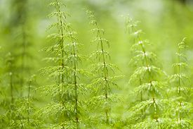picture of horsetail  - Equisetum sylvaticum, Wood horsetail in a Finnish forest