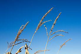 picture of tassels  - Tassel tops of corn stalks against a clear blue sky - JPG