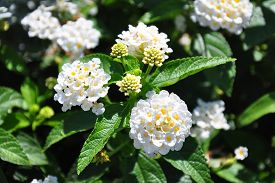 picture of lantana  - Colorful and crisp image of white sage  - JPG