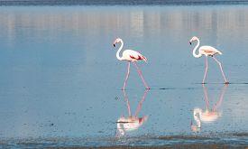 stock photo of larnaca  - Group of Flamingo birds with reflections walking in the Salt lake of Larnaca Cyprus - JPG