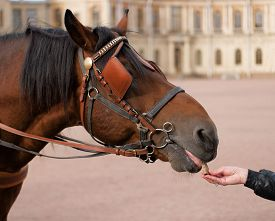 foto of feeding horse  - Horse head in harness on the background of the Gatchina Palace - JPG