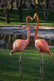 image of pink flamingos  - Image of Bright pink flamingo on the green background - JPG