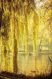 foto of weeping  - Summer or early autumn park with pond or river and weeping willow trees on the shore - JPG