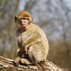 stock photo of macaque  - Portrait of a Young  Barbary Macaque In A Semi - JPG