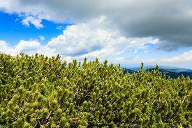 picture of italian alps  - Panorama from Italian alps mugo pines along a mountain trekking path - JPG