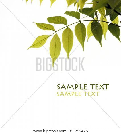 young green leaves against white background and plenty of space for text