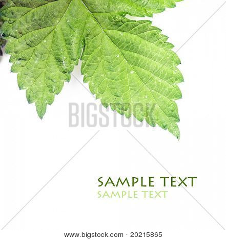 close-up of a green leaf against white background