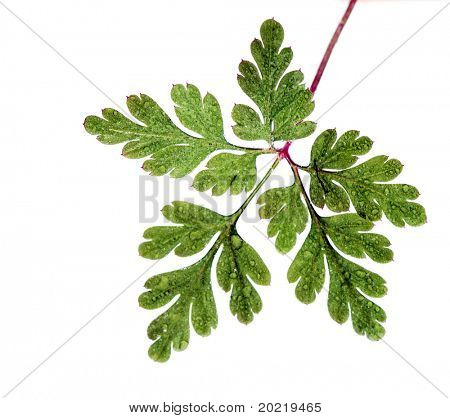 young green leaf with water drops against white background