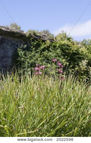 Grasses, Wildflowers, Wall, Ireland