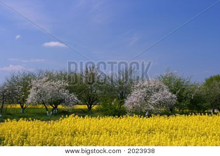 Blooming Orchard And Canola Field