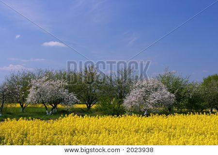 Florescência de pomar e campo de Canola