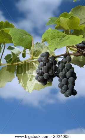 schwarze Trauben am Weinstock gegen wolkenschleier blauen Himmel