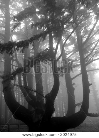 Octopus Tree In The Fog