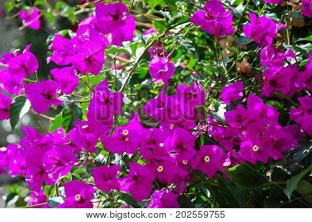Blossom group of sunlit beautiful bougainvillea flowers