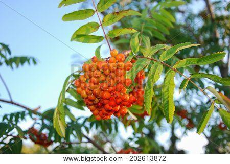 Sunlit and vibrant bunch of rowan berries