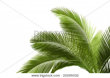 Blätter der Palme isolated on white background
