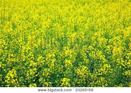 Yellow oilseed rapeseed scenery