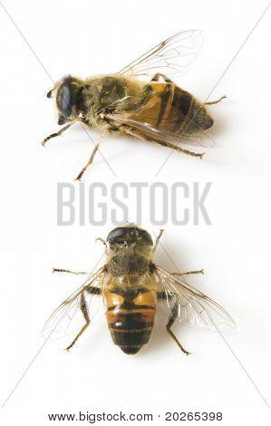 Honigbiene auf weißem Hintergrund