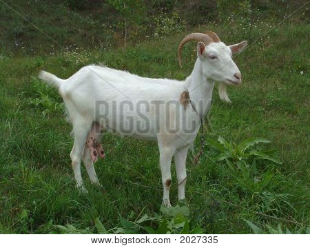 Goat On A Lawn