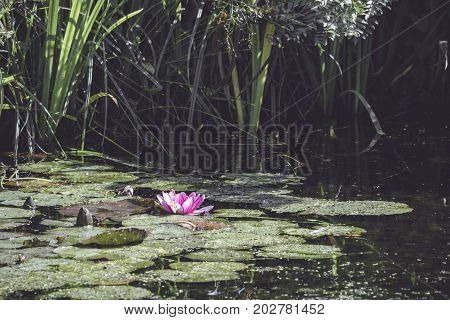 Pink Water Lily In A Small Pond
