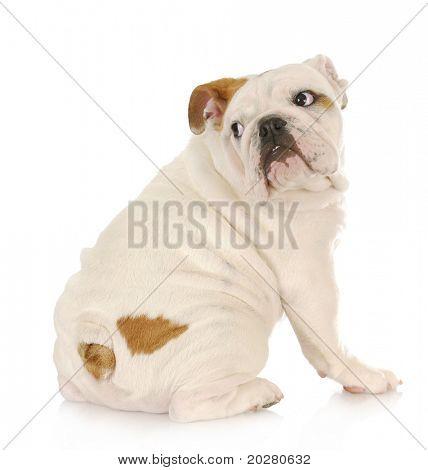 cachorro asustado - bulldog inglés con expresión asustada, mirar por encima del hombro
