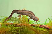 image of newt  - newt swimming under water aquatic animal amphibian of small freshwater ponds endangered species and protected by nature conservation great crested newt or Triturus cristatus - JPG