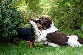 Two Dogs Playing Rough In Grass poster