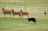 foto of sheep-dog  - picture of sheep dog rounding up threee sheep at sheep dog trials - JPG