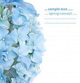 picture of hydrangea  - vivid blue spring flora  - JPG