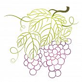 picture of grape-vine  - grapes with leaves - JPG