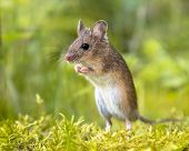 Erect Standing Wood Mouse In Green Surroundings poster