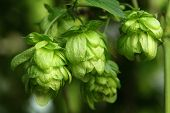picture of hop-plant  - Plant hops close - JPG