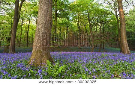 Bluebells In A Wood At Sunset