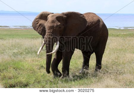Elephant Bull At Lake Manyara