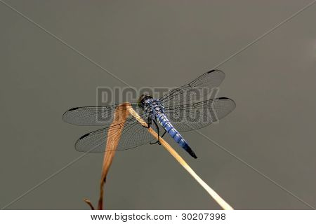 Beautiful Dragonfly On The Weeds