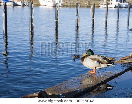 Duck In Harbour