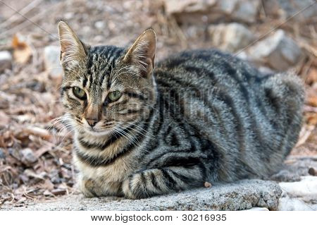 Grey tabby cat lyes at stone