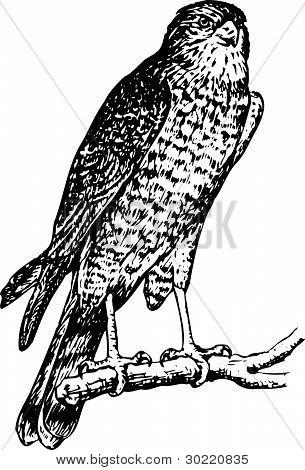 Bird accipiter nisus
