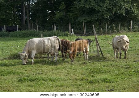 Cattle In Green Pasture