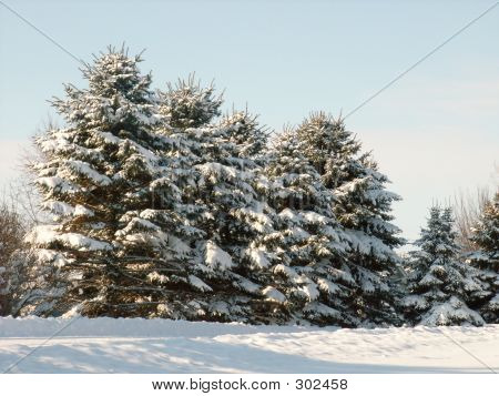 Pine Trees Full Of Snow