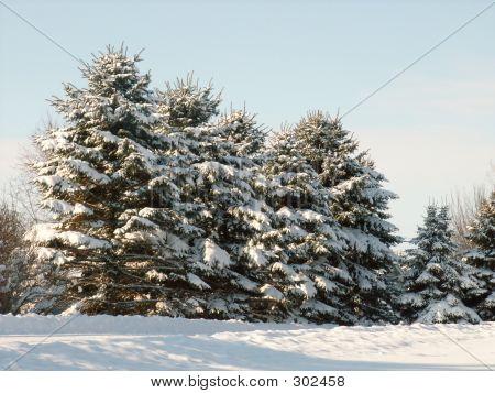Pine Trees Full Of Snow