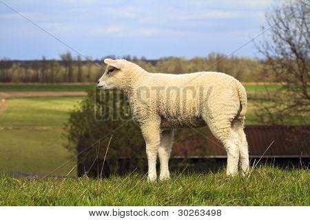 Young Lamb Looking