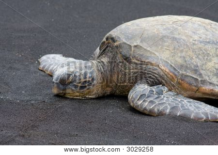Green Sea Turtle 2