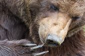 Paw Of Brown Bear (ursus Arctos) With Claw And Snout poster