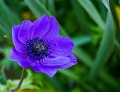 Macro Closeup Of A Purple Anemone Flower, Popular Cultivated Ornamental Flower, Colorful Flowers For poster