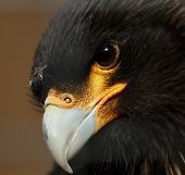 Striated Caracara close-up